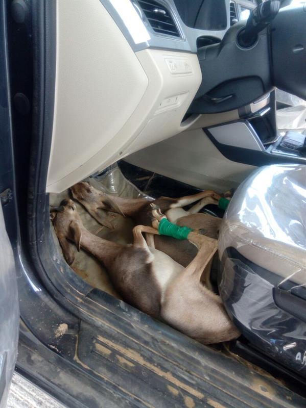 أخفاهما أسفل مقود السيارة.. إحباط تهريب شاب لغزالين نادرين بجازان (صور)