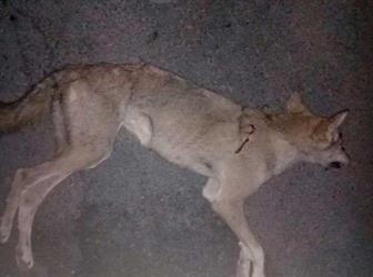 """""""سبعينية"""" تنجو من مهاجمة ذئب لها بمنزلها في الطائف.. وحفيدها يقتله (صورة)"""