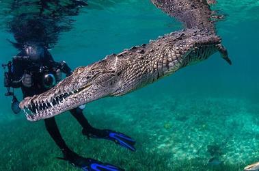 مغامر جريء يتحدى الخوف ويسبح مع تمساح! (صور)
