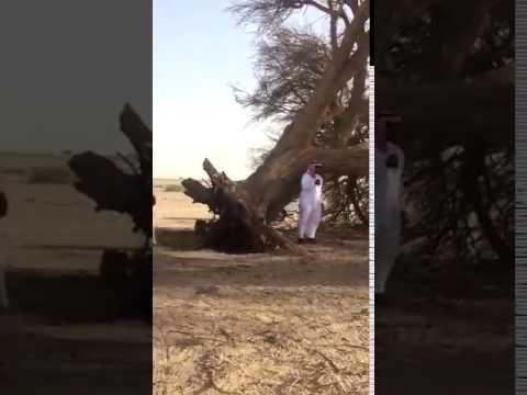 شاهد.. الرياح تقتلع شجرة ضخمة في الدوادمي.. وبيعها في مزاد علني